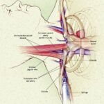 анатомия при пункции подключичной вены